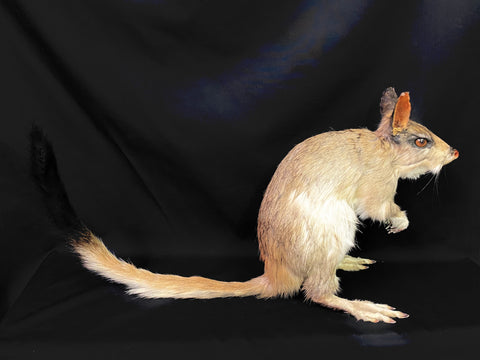 South African Springhare Taxidermy - Pedetes capensis