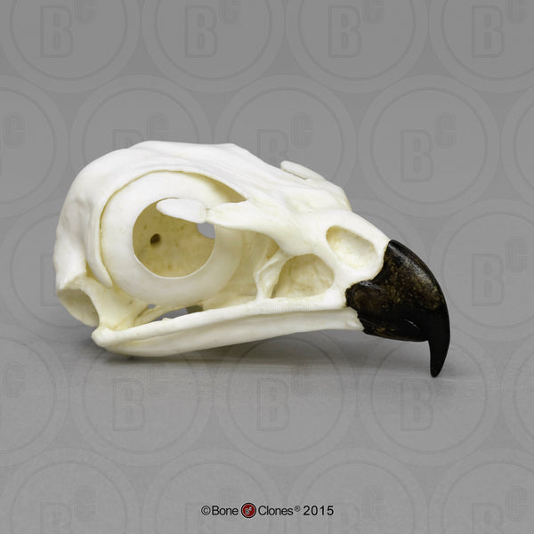 Hawk Skull (Red-tailed Hawk) Cast Replica - Buteo jamaicensis #BC-078