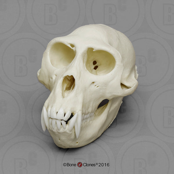 Monkey Skull (Rhesus macaque - male) Cast Replica - Macaca mulatta #BC-137
