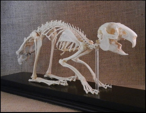 Domestic Rabbit Skeleton - Oryctolagus cuniculus - #SM16