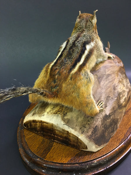 Eastern Chipmunk Taxidermy - Tamias striatus
