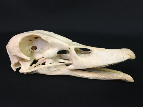 Domestic Duck Skull - Anas domesticus