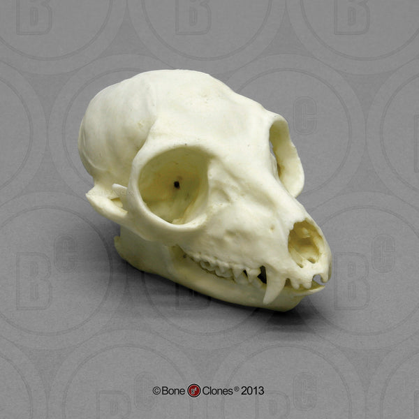 Lemur Skull (Ring-tailed) Cast Replica - Lemur catta #BC-087