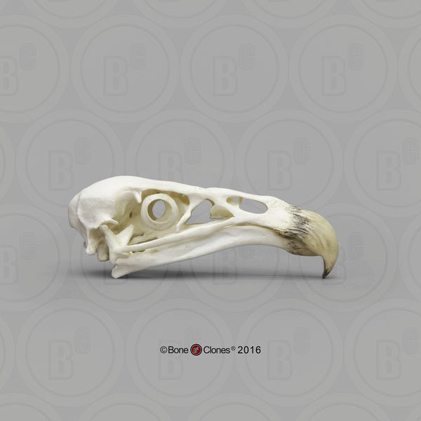 Condor Skull (California Condor) Cast Replica - Gymnogyps califonianus #BC-077