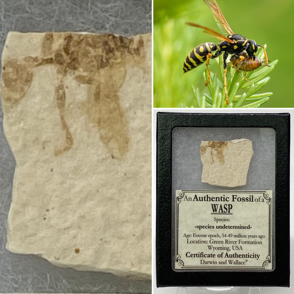 "Wasp Fossil 1&1/4"" - species undetermined"