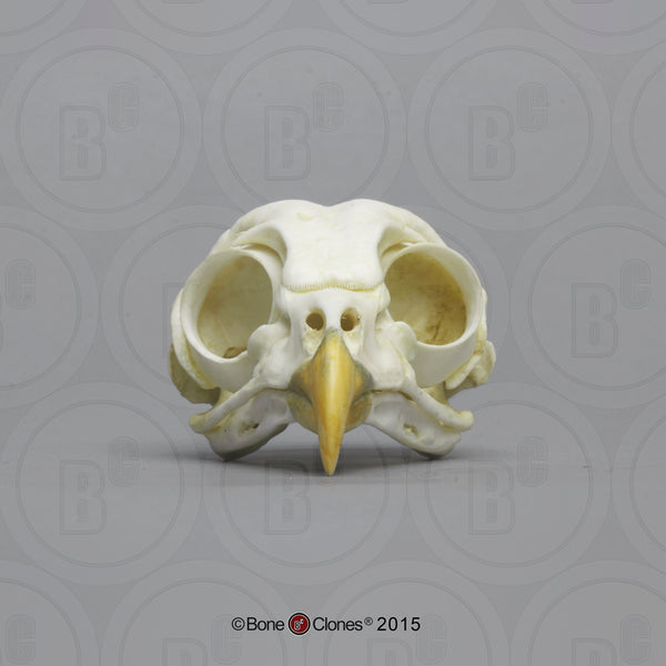Owl Skull (Barred Owl) Cast Replica - Strix varia #BC-154