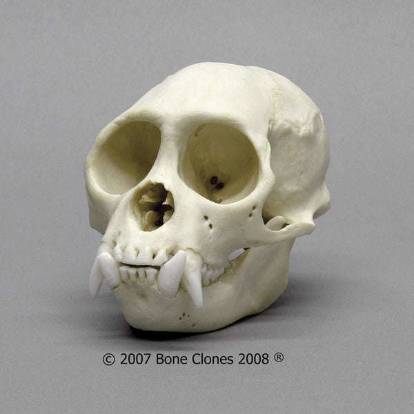 Monkey Skull (Weeping Capuchin - male) Cast Replica - Cebus olivaceus #BC-263