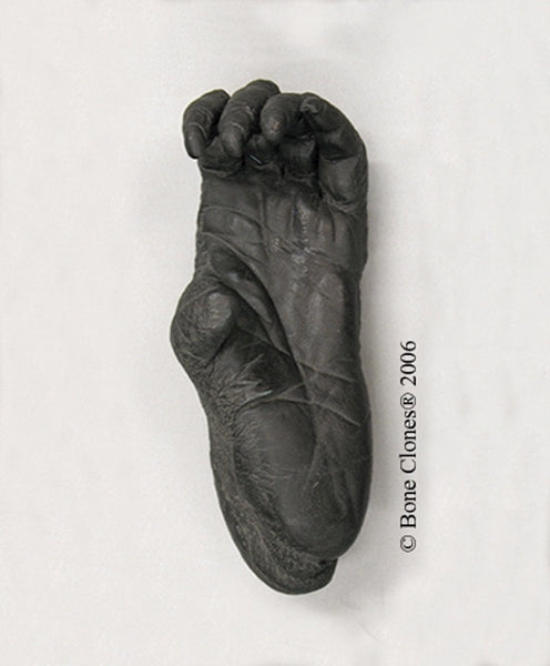 Orangutan left Foot (Bornean - female) Life Cast Replica - Pongo pygmaeus #LC-12