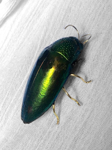 Jewel Beetle Brooch or Pin