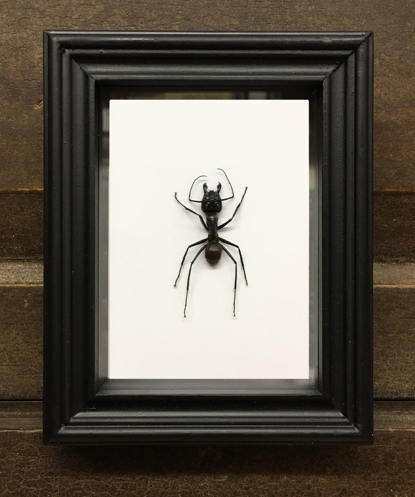 Giant Forest Ant in Box Frame Camponotus gigas