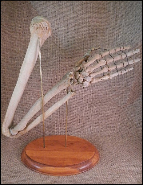 Authentic Human Arm w/ Custom Display - SH1