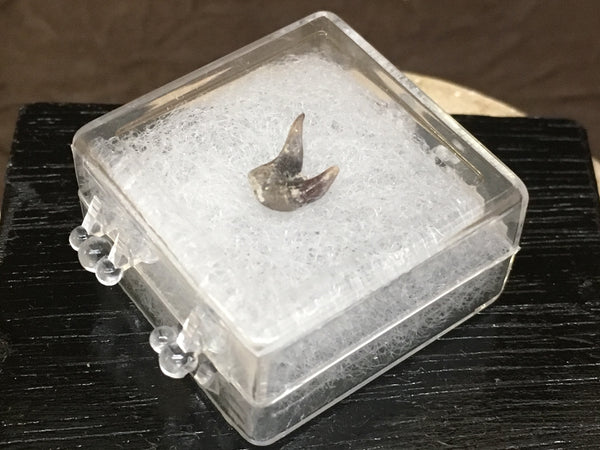 "Eel Shark Tooth 1/4"" - Orthacanthus texensis (fresh-water xenacanth shark)"