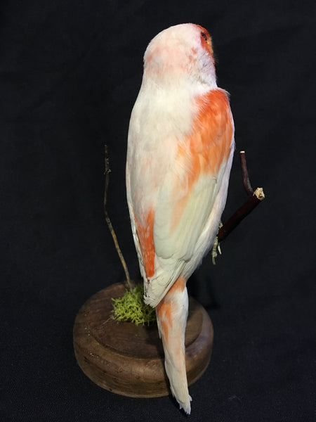 Red Mosaic Canary Taxidermy - Serinus canaria domestica