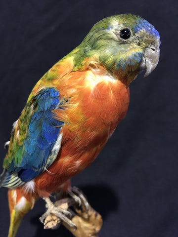 Scarlet-chested Parrot Taxidermy - Neophema splendida