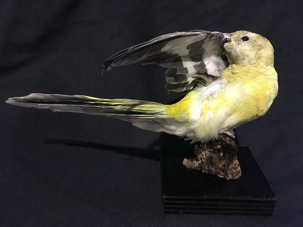 Domestic Grass Parrot Taxidermy - Neophema sp.
