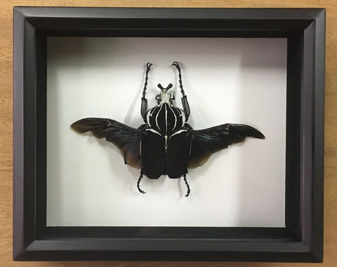 Shadow Box Specimens | Darwin and Wallace: A Nature & Fossil Store