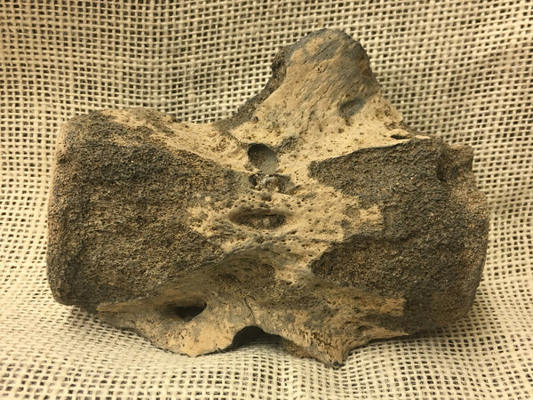 "Whale Vertebra 4&3/8"" - species undetermined"