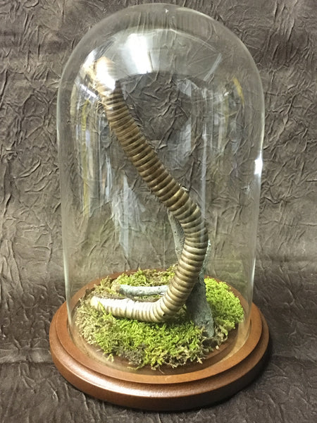 Millipede: Giant Millipede in Glass Dome - Species undetermined