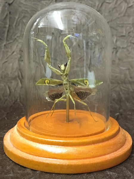 Jeweled Flower Mantis in Glass Dome - Creobroter gemmatus