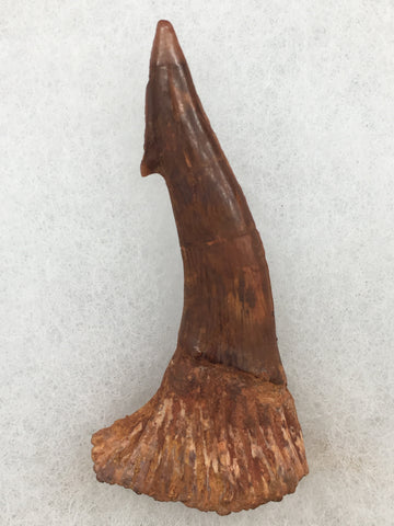"Sawfish Tooth 2&1/4"" - Onchopristis numidus"