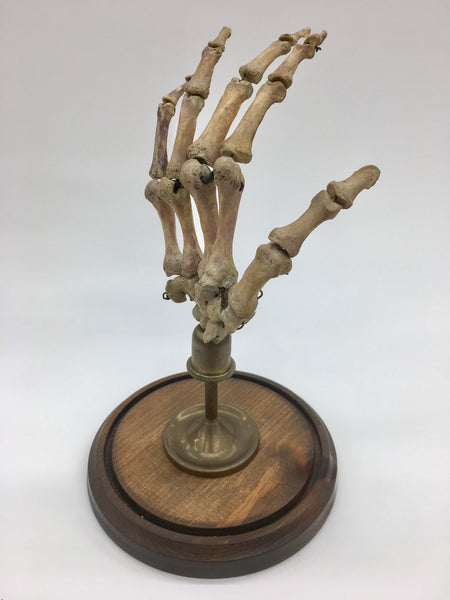 Authentic Human Hand w/ Brass Display & Glass Dome