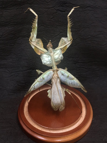 Mantis: Devil's Flower Mantis in Glass Dome - Idolomantis diabolica