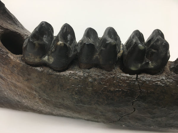 "Tapir Jaw with Teeth 11"" - Tapirus veroensis"