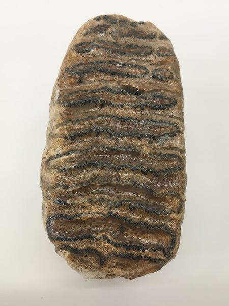 "Baby Woolly Mammoth Tooth 3&1/2"" - Mammuthus primigenius"