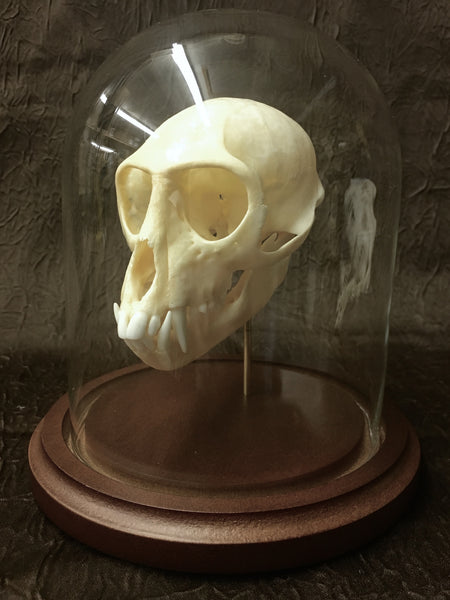 Vervet Monkey Skull in Glass Dome - Chlorocebus pygerythrus