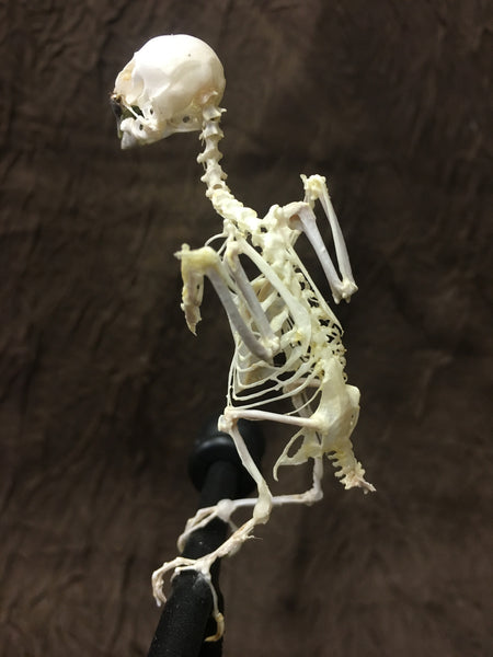 Society Finch Skeleton - Lonchura domestica