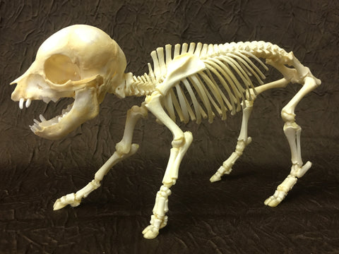 Domestic Pig (piglet) Skeleton - Sus domesticus