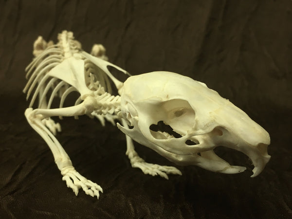 Domestic Guinea Pig Skeleton - Cavia porcellus