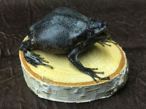 Flower Pot Toad Taxidermy - Kaloula baleata