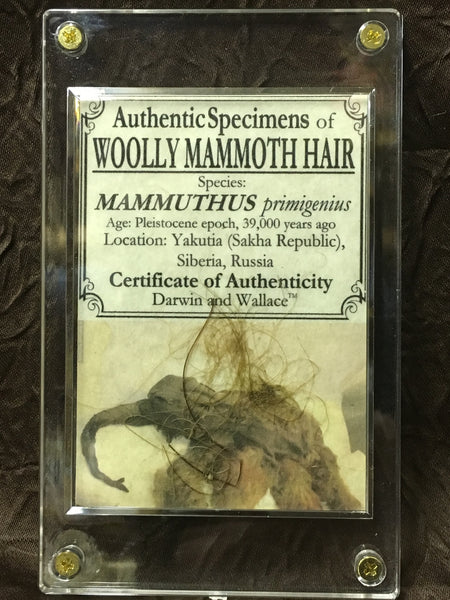 Genuine Woolly Mammoth Hair - Mammuthus primigenius
