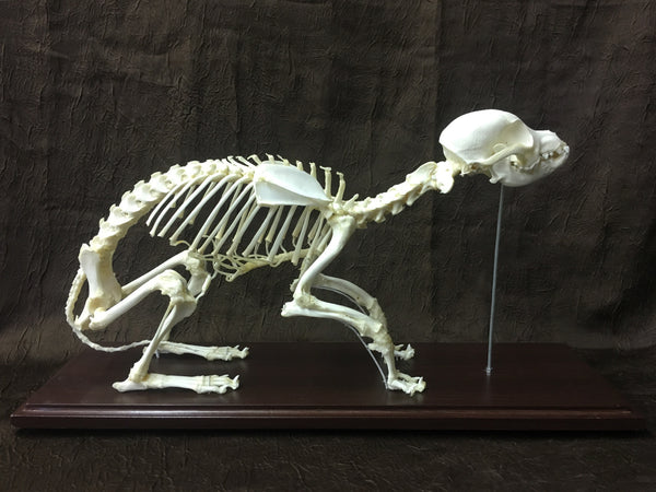 Domestic Dog Skeleton - Canis familiaris