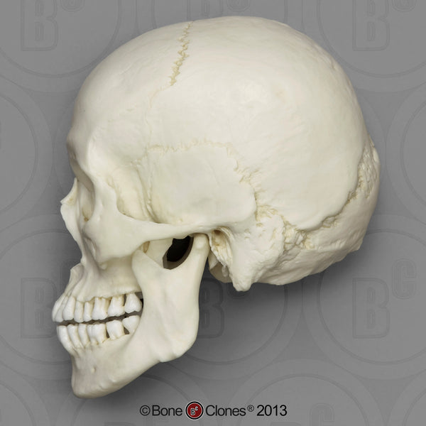 Human Skull (Asian male) Cast Replica - Homo sapiens #BC-016