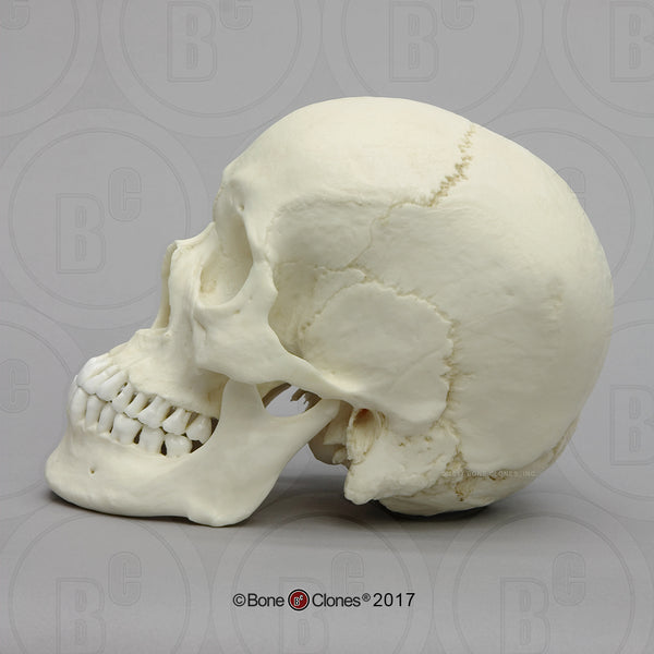 Cast Replica Human Skull (Asian male) - Homo sapiens #BC-016