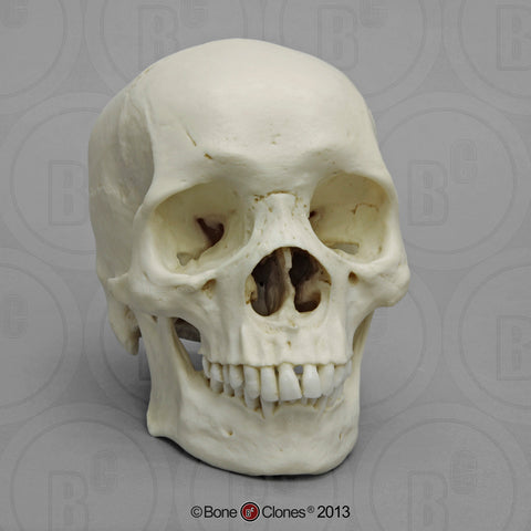 Cast Replica Human Skull (African male) - Homo sapiens #BC-110