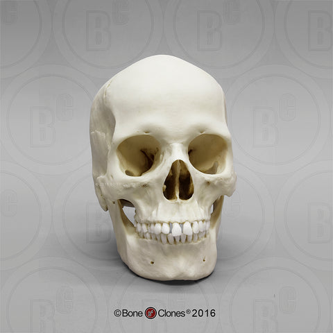 Cast Replica Human Skull (European female) - Homo sapiens #BC-133