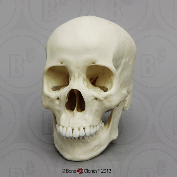 Cast Replica Human Skull (Asian female) - Homo sapiens #BC-149
