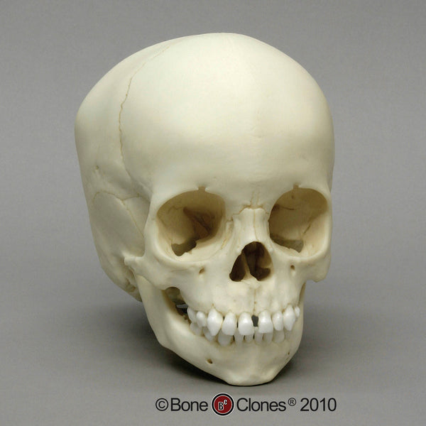 Human Child Skull (2-3 years old) Cast Replica - Homo sapiens #BC-275