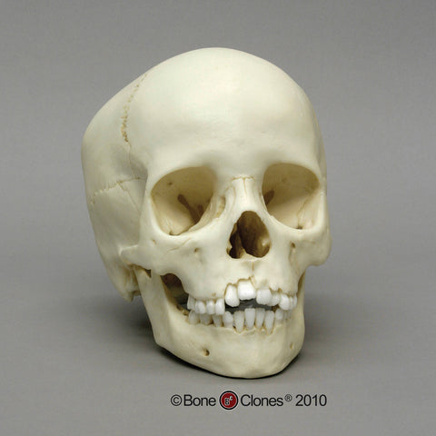 Cast Replica Human Child Skull (5-9 years old) - Homo sapiens #BC-276