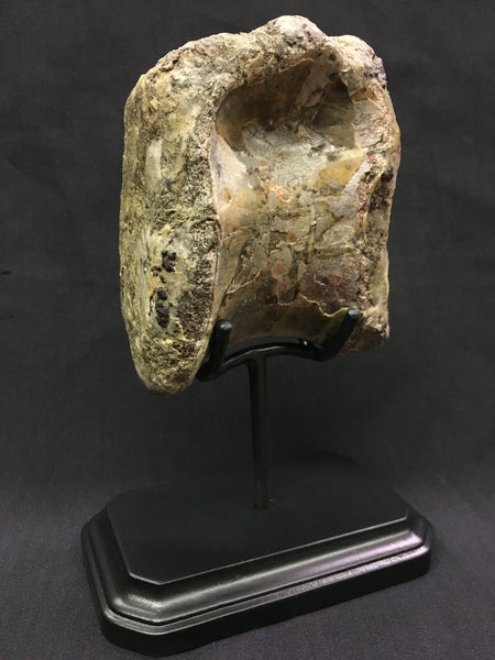 Allosaurus Vertebra with custom Display Stand (large allosaurid dinosaur)