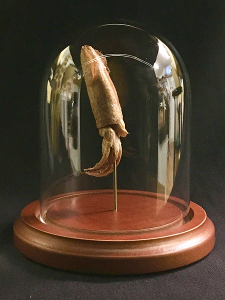 Atlantic Brief Squid in Glass Dome - Lolliguncula brevis