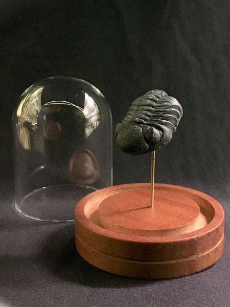 Moroccan Trilobite in Glass Dome - Phacopid species