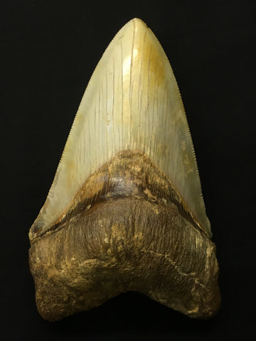 "Megatooth Shark tooth 5&3/8"" - Carcharocles megalodon (gigantic shark)"