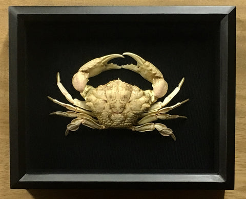 Round Crab - Demania cultripes - Mounted Crustacean in Shadow box