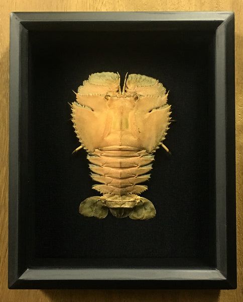 Slipper Lobster - Ibacus peronii - Mounted Crustacean in Shadow box