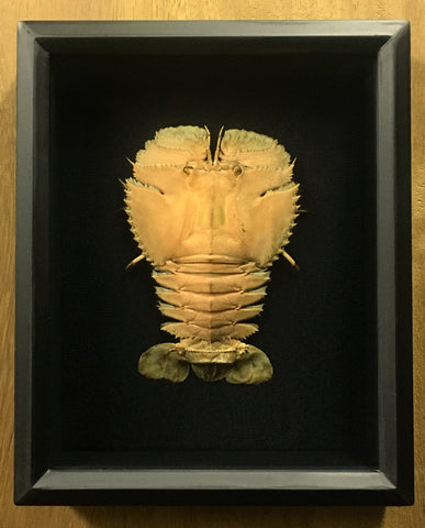 Lobster: Slipper Lobster - Ibacus peronii