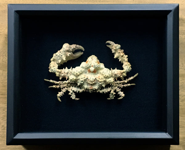 Crab: Rubble Crab - Daldorfia horrida